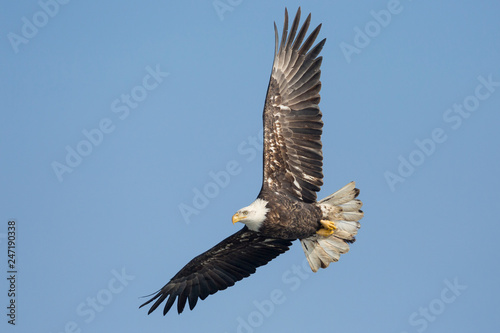 Poster Aigle A Wild, Mature Bald Eagle Catching Fish in the Iowa River