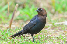 Brown-headed Cowbird In The Gr...