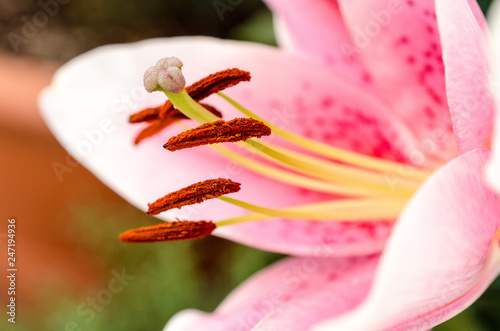 Fotografie, Obraz  Abstract view of a lily stamen, with focus only on the pistil pollen of the flow