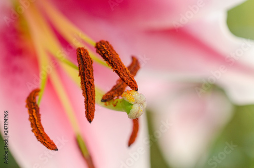 Fotografie, Tablou  Abstract view of a lily stamen, with focus only on the pistil pollen of the flow