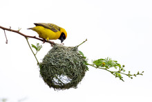 Southern Masked Weaver Bird Bu...