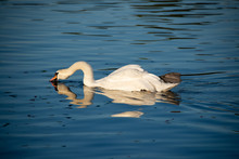 Unusual Picture Of Mute Swan Or Cygnus Olor In The Middle Of Velvety Deep Blue Water