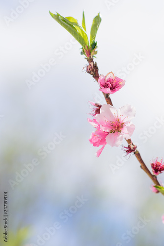 Photo  close up of flowering almond trees