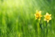 Osterglocken In Der Frühlingsidylle