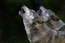 Heulende Wölfe (Canis Lupus L...