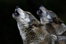 Heulende Wölfe (Canis Lupus Lupus) - Gray Wolf