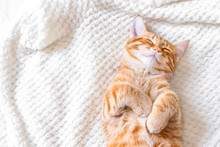 Ginger Cat Sleeping