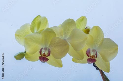 Storczyk żółty na tle szyby w deszczu - 247208945