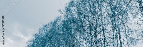 Poster Bosquet de bouleaux Birch trunks in deciduous forest. Winter season in the countryside.