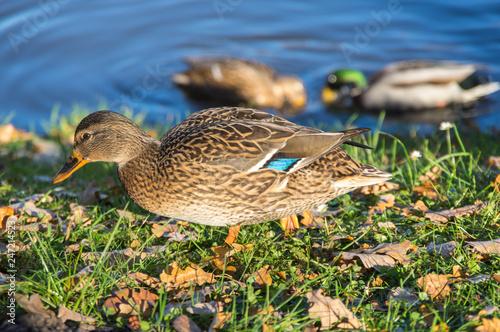 Fotografie, Obraz  View of mallard ducks
