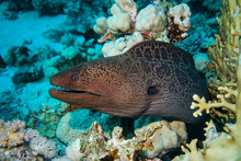 Giant Moray On The Reef