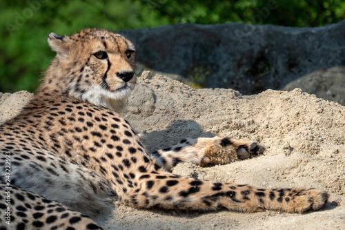 Cheetah portrait (Acinonyx jubatus) lying down in the sand