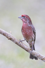 House Finch Outside Backyard H...