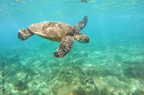 Papiers peints Sous-marin Green sea turtle above coral reef underwater photograph in Hawaii