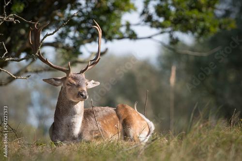 Plakat Samiec jelenia ze wspaniałym porożem