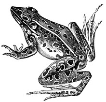Frog Engraving Isolated On White
