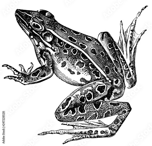 Photo Frog Engraving Isolated on White