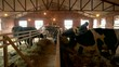 Feeding cows in cowshed. Cows eating hay in small cowshed. Agriculture industry, farming and animal husbandry concept.
