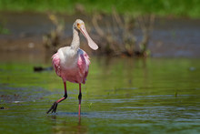 Roseate Spoonbill - Platalea Ajaja Gregarious Wading Bird Of The Ibis And Spoonbill Family, Threskiornithidae