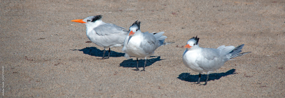 Three Black Crested Gulls at McGrath State Park nature preserve in Ventura - Oxnard on the California gold coast - United States