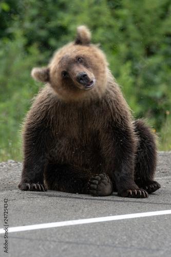 Fotografia  Young brown bear waving its head scaring mosquitoes