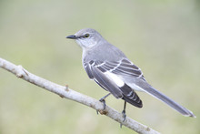 Mockingbird Outside Backyard H...