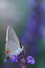 A Shallow Focus Image Of A Single Butterfly Feeding On A Purple Flower.