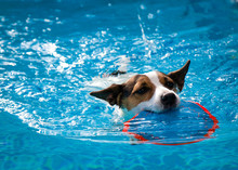 Dog Swimming In An Outdoor Swimming Pool Carrying A Toy In Her Mouth