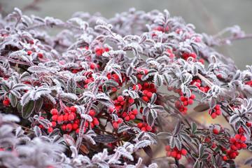 Matowe czerwone owoce