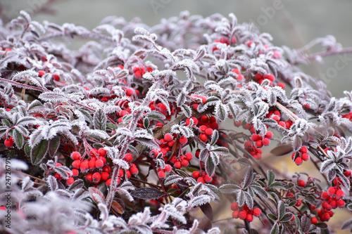 Foto  霜がついた赤い実