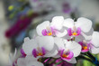 White orchid in bloom at Chiangmai flower festival 2019, Thailand