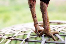 Legs Of Chicken On Cages.