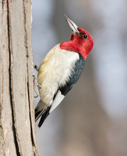 Red-headed Woodpecker (Melanerpes Erythrocephalus) Looking For Acorns Among Fallen Oak Leaves, Iowa, USA.