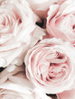 beautiful rose close-up petals Valentine background
