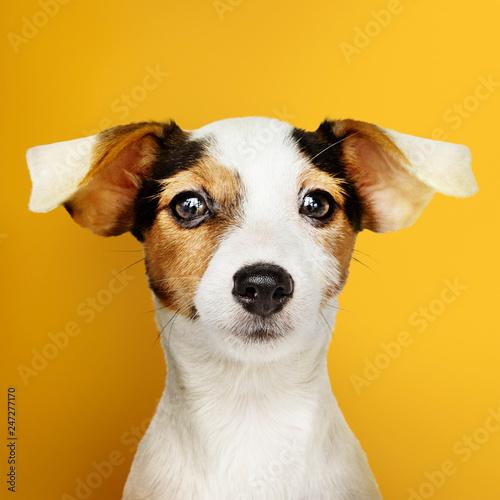 Obraz Adorable Jack Russell Retriever puppy portrait - fototapety do salonu
