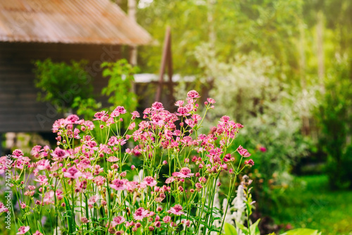 Photo private summer cottage garden view with blooming astrantia