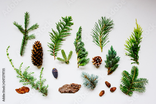 Fototapeta collection of various conifers and its cones on white backround. Set of juniperus, thuja, picea, abies, and pinus on white background. Botanical evergreen flat lay. obraz