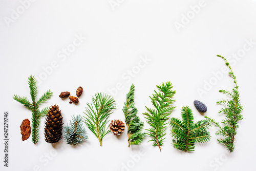 Photo collection of various conifers and its cones on white backround
