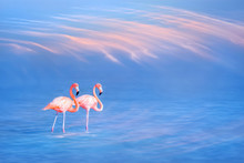 Beautiful Pink Flamingos On The Water Surface Against The Blue Sky And Pink Clouds. Coral Color.