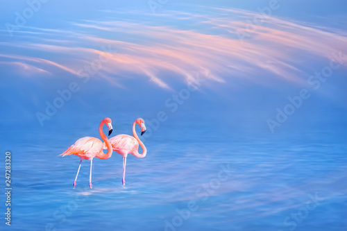 Flamingo Beautiful pink flamingos on the water surface against the blue sky and pink clouds. Coral color.