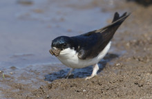 A Beautiful House Martin (Delichon Urbica) At The Side Of A Puddle With A Beak Full Of Mud To Make Its Nest.