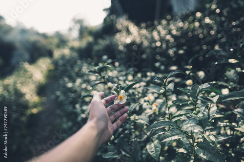 Photo  Tea Plantation Tea flower in the morning  Dark tone