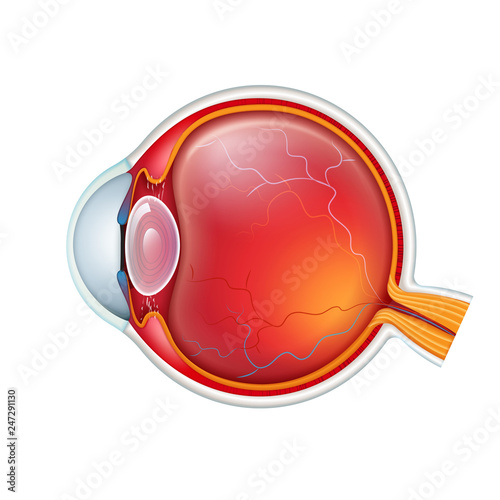 Fotografía  Vector human eye crossection close up isolated on white baclground