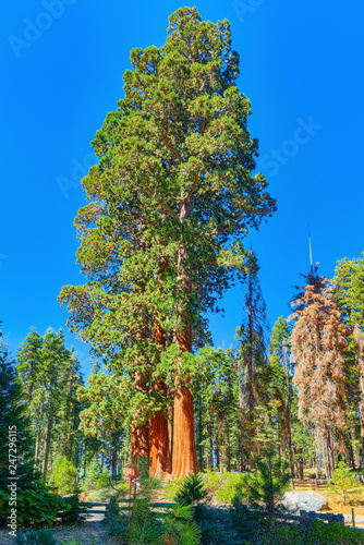 Spoed Foto op Canvas Verenigde Staten Forest of ancient sequoias in Yosemeti National Park.
