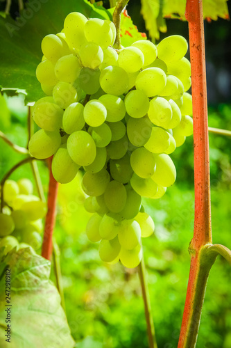 beautiful grapes in the park on nature field background Fototapete