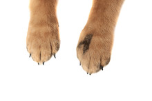 Cute German Shepard Paws On Wh...