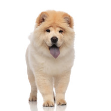 Yellow Chow Chow With Blue Tongue Panting And Standing
