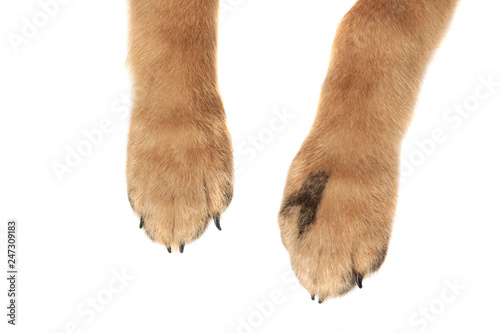 Photo  close up of adorable brown dog paws with claws