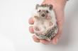 cute african dwarf hedgehog resting in human hand