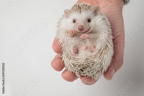 Fotografia, Obraz cute african dwarf hedgehog lying in person's hand